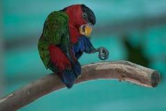 Un pappagallo variopinto su un ramo Immagini Stock
