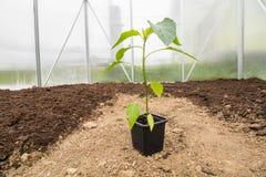 Un paprika de jeune plante (poivron, poivrons) dans le petit rea de serre chaude images stock