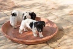 Un paquet de chiots de Jack Russell Terrier se tiennent dans une cuvette rouge Les chiens sont 7, 5 semaines de  photographie stock