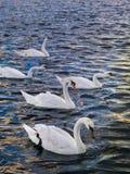 Un paquete de cisnes imagen de archivo libre de regalías