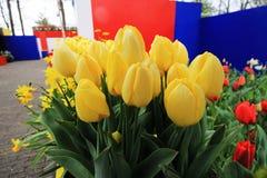 Un paquete de tulipanes amarillos Fotos de archivo libres de regalías