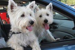 Un par cómodo de perros del terrier de Westhighland imagen de archivo libre de regalías