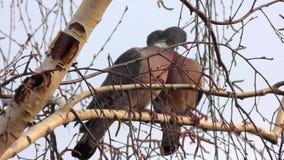 Un par cariñoso de los pájaros - palomas de amor almacen de video