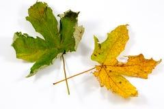 Un par coloreó las hojas de otoño en un fondo blanco fotografía de archivo libre de regalías