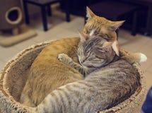 Un par de abarcamiento rojo y gris el dormir del gato Imagenes de archivo