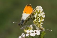 Un par de acoplamiento de mariposa hermosa de la Anaranjado-extremidad, cardamines de Anthocharis, encaramados en una flor Imagen de archivo libre de regalías