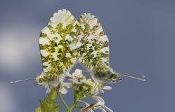 Un par de acoplamiento de mariposa hermosa de la Anaranjado-extremidad, cardamines de Anthocharis, encaramados en una flor Fotos de archivo