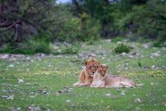 Un par de acoplamiento del león que pone en la hierba Imágenes de archivo libres de regalías