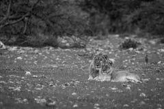 Un par de acoplamiento del león que pone en la hierba Fotos de archivo