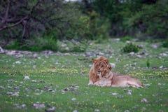 Un par de acoplamiento del león que pone en la hierba Foto de archivo