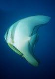 Un par de batfish del longfin Imagen de archivo libre de regalías