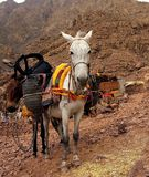 Un par de burros marroquíes que descansan con su carro en el anuncio Fotografía de archivo
