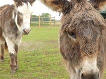 Un par de burros miniatura en un campo imagen de archivo libre de regalías