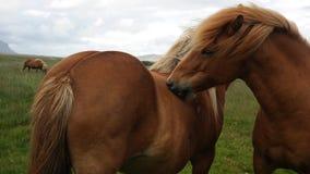 Un par de caballos Fotos de archivo libres de regalías