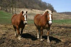 Un par de caballos de bosquejo belgas Imágenes de archivo libres de regalías