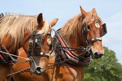Un par de caballos de trabajo foto de archivo