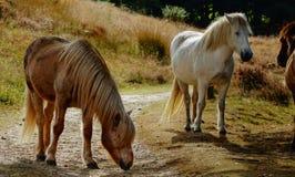 Un par de caballos en un prado en otoño Imagen de archivo libre de regalías