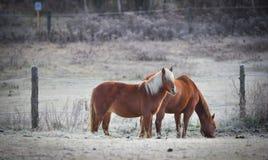 Un par de caballos en su corral en una mañana escarchada de noviembre Imagenes de archivo