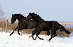Un par de caballos negros Fotografía de archivo libre de regalías