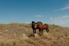 Un par de caballos salvajes en la estepa. Imagen de archivo libre de regalías