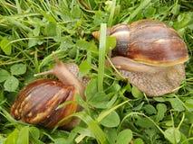 Un par de caracoles en la hierba imagenes de archivo
