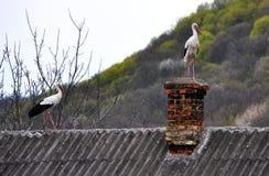 Un par de cigüeñas blancas Imagen de archivo libre de regalías