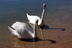 Un par de cisnes. Imagen de archivo