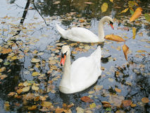 un par de cisnes agraciados Fotos de archivo