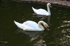 Un par de cisnes blancos en una charca Foto de archivo