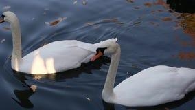 Un par de cisnes blancos que nadan en una charca en un parque de la ciudad almacen de metraje de vídeo