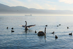 Un par de cisnes en la luz del sol Fotografía de archivo