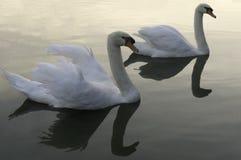 Un par de cisnes en la puesta del sol sobre el lago Imagen de archivo libre de regalías