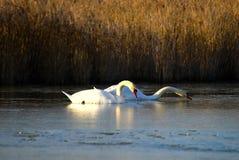 Un par de cisnes en un lago Imagenes de archivo
