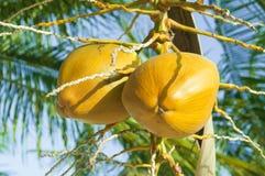 Un par de cocos en una palma Fotografía de archivo libre de regalías