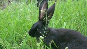 Un par de conejos negros que comen la hierba en el prado cerca de tocón almacen de video