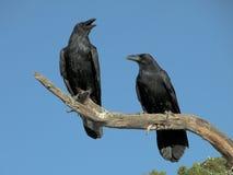 Un par de cuervos Imágenes de archivo libres de regalías