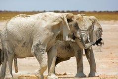 Un par de elefantes adolescentes que tienen una lucha juguetona Foto de archivo