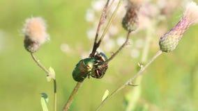 Un par de escarabajos Rose Chafer verde /Cetonia auerata/comunicar con uno a en un tronco del cardo de arrastramiento almacen de video