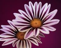 Un par de flores blancas con la púrpura que va para arriba los pétalos en un fondo púrpura Fotos de archivo