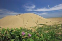 Un par de flores de la enredadera de la correhuela en el pie de la duna de arena por la playa imagen de archivo libre de regalías