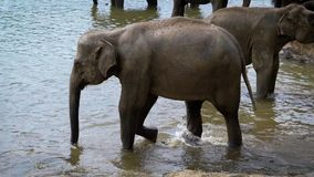 Un par de grandes elefantes que se colocan en una charca en un parque almacen de metraje de vídeo