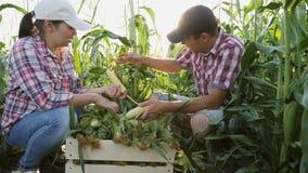 Un par de granjeros están cosechando maíz almacen de metraje de vídeo