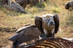 Un par de halcones en un esqueleto de la jirafa Imagen de archivo