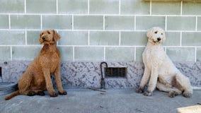 Un par de hermanos gemelos del caniche que se sientan contra la pared fotografía de archivo libre de regalías