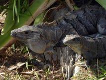 Un par de iguanas en Tulum, México Imagen de archivo libre de regalías