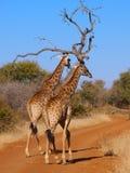 Un par de jirafa que toma un paseo Foto de archivo libre de regalías