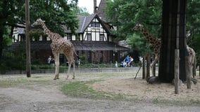Un par de jirafas que caminan y que comen en su yarda en el parque zoológico metrajes