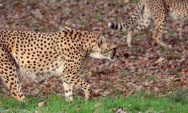 Un par de jubatus del acinonyx de los guepardos imágenes de archivo libres de regalías