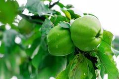 Un par de jugoso, de invierno y de manzanas hermosas cuelga en el árbol del otoño, todavía adornado con las hojas verdes, esperan Imágenes de archivo libres de regalías