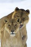 Un par de león en escena del invierno fotos de archivo libres de regalías